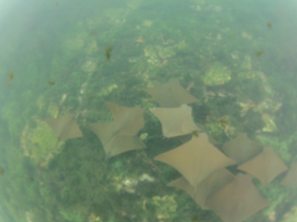 School of Golden Rays